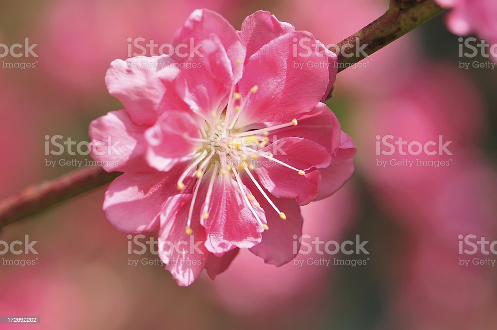 Spring Cherry Blossoms Flower royalty-free stock photo