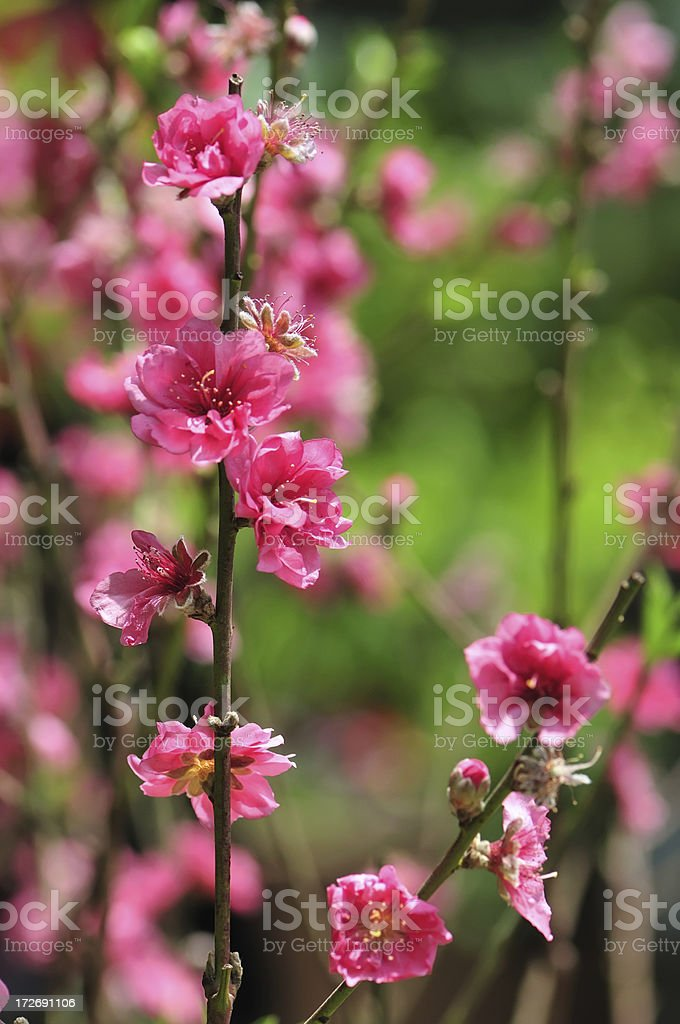 Spring Cherry Blossoms Flowers royalty-free stock photo
