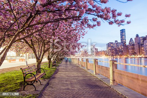 This is a royalty free stock color photograph of blooming cherry blossom trees lining a sidewalk on Roosevelt Island, in urban travel destination New York City, USA. The evening skyline view of Manhattan's East Side is seen across the East River in the background. Photographed with a Nikon D800 DSLR in spring.