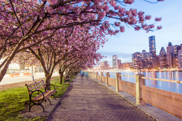 NYC Spring Cherry Blossoms on Roosevelt Island Manhattan View Dusk stock photo