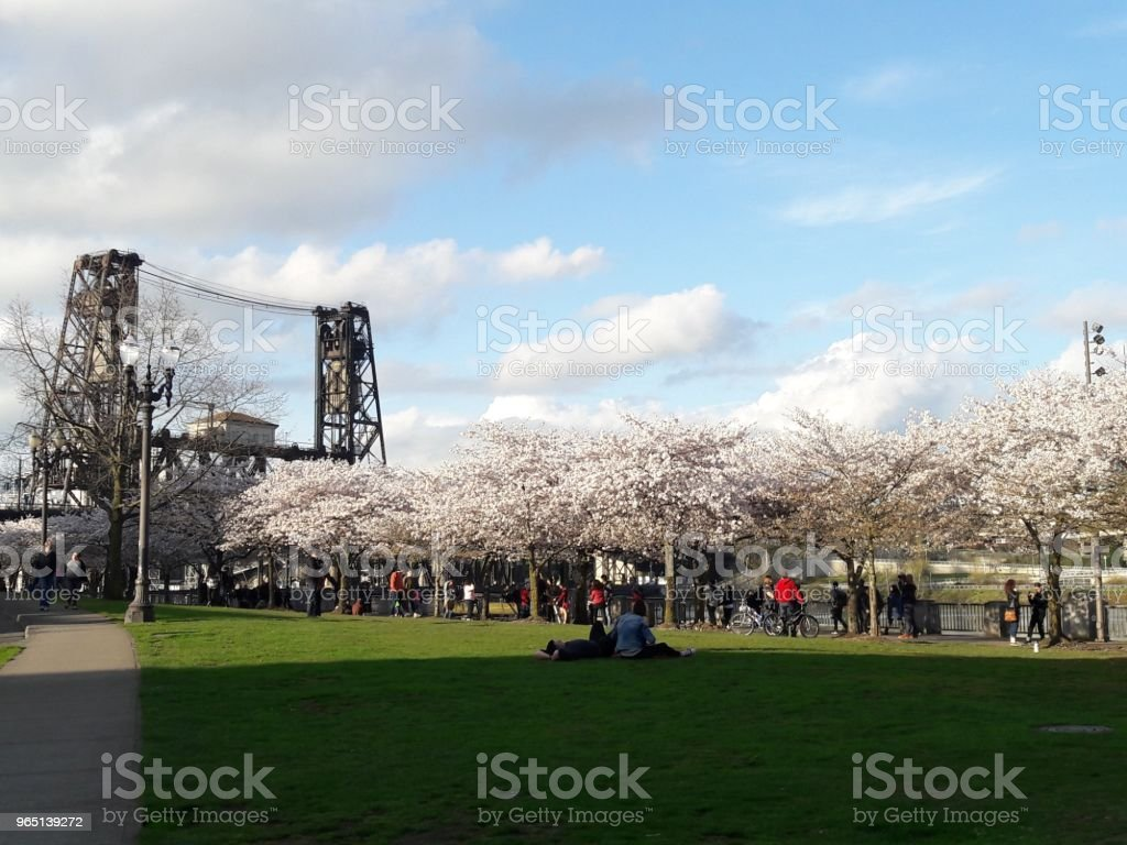 Spring cherry blossoms royalty-free stock photo