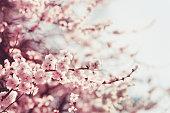 桜、春のピンクの花。