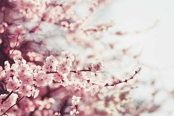 Royalty free cherry blossom pictures images and stock photos istock spring cherry blossoms pink flowers stock photo mightylinksfo