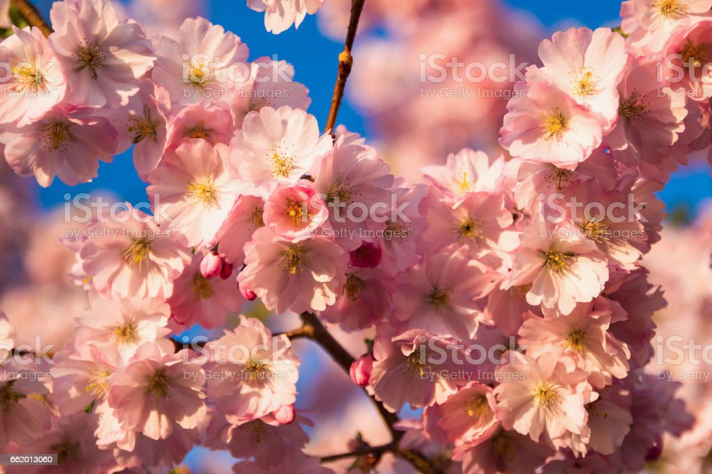 Spring Cherry blossoms, pink flowers royalty-free stock photo