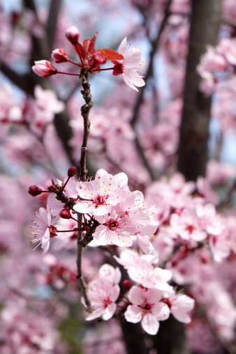 Spring cherry flowers blooming closeup
