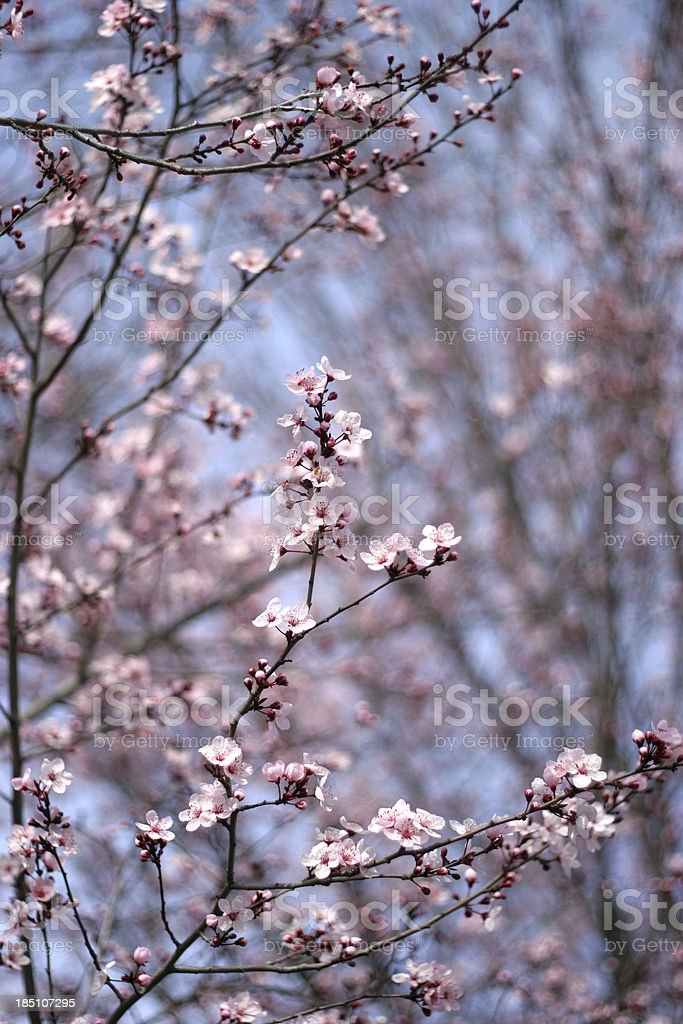 Spring cherry flowers blooming stock photo