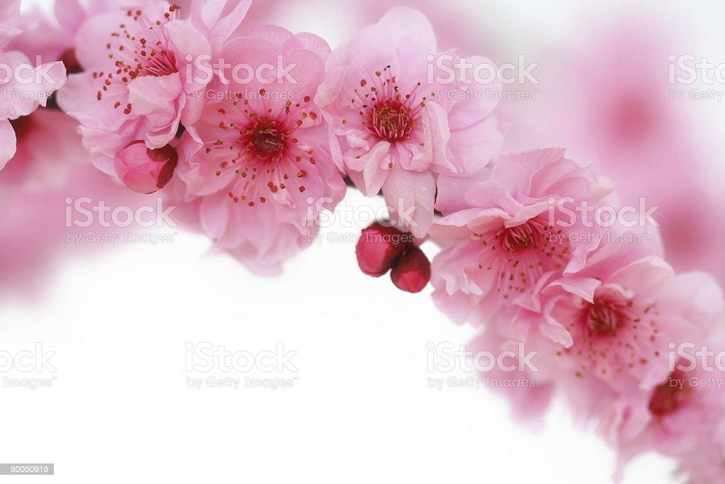 Spring cherry flowers stock photo