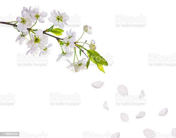 Spring cherry tree flowers and petals picture id119600434?b=1&k=6&m=119600434&s=612x612&h=jpiqxvh8izjsrnaaq6upkj wr0y8gvs9xmwzresawce=