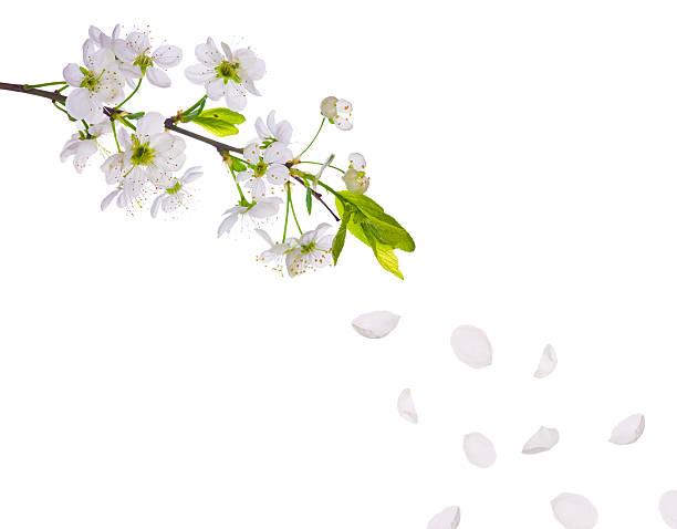 Spring cherry tree flowers and petals picture id119600434?b=1&k=6&m=119600434&s=612x612&w=0&h=jffn2c9roxbephii79rrivf llfg18ligoflzdj8yz4=