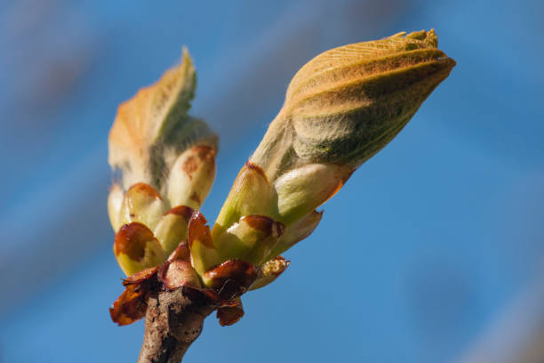 Spring chestnut bud against the sky