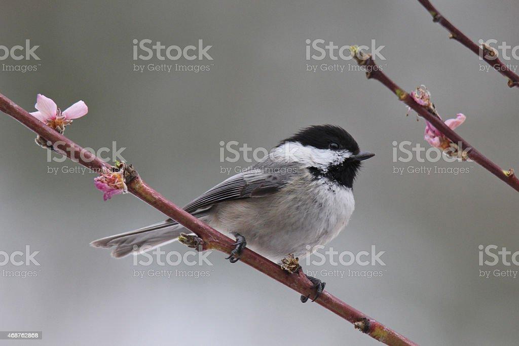Spring Chickadee stock photo