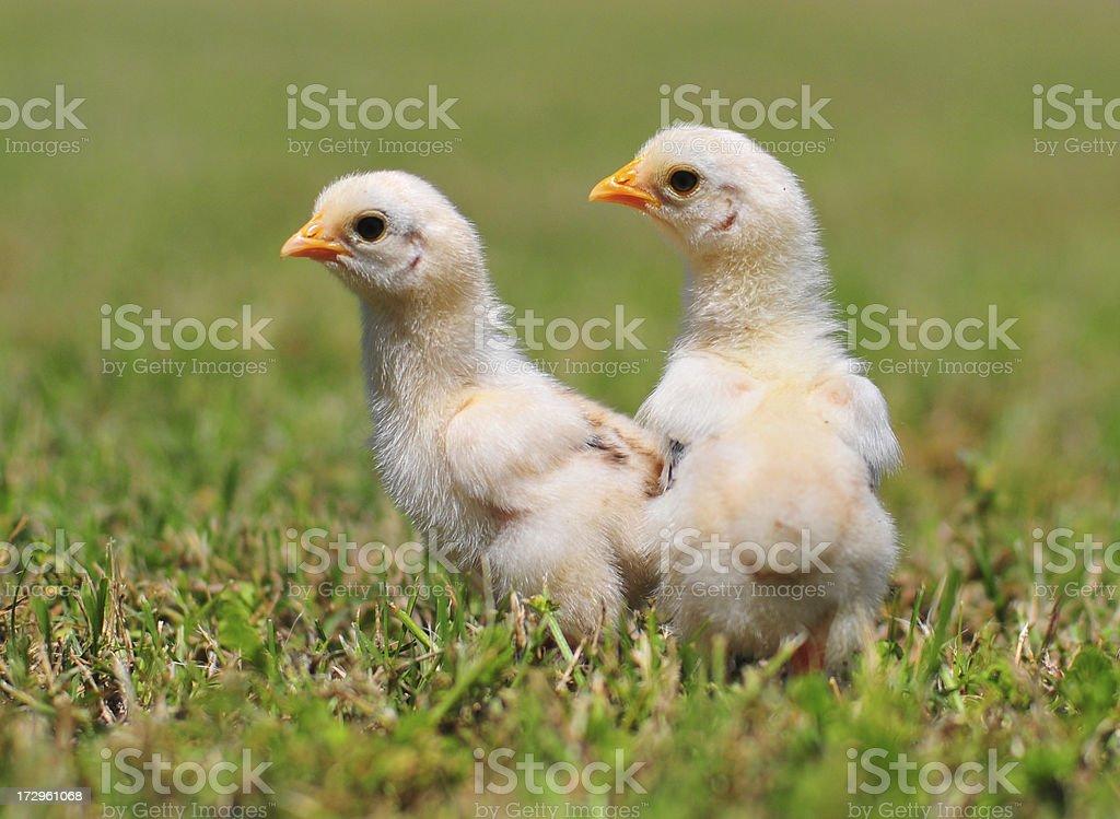 spring chicks royalty-free stock photo