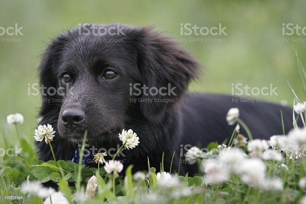 Spring Clover Pup royalty-free stock photo