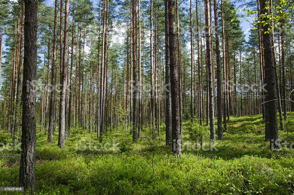 Spring colors in a coniferous forest stock photo