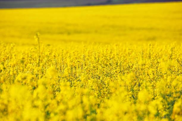 raps frühling felder. blühende gelbe blumen - rübsen stock-fotos und bilder