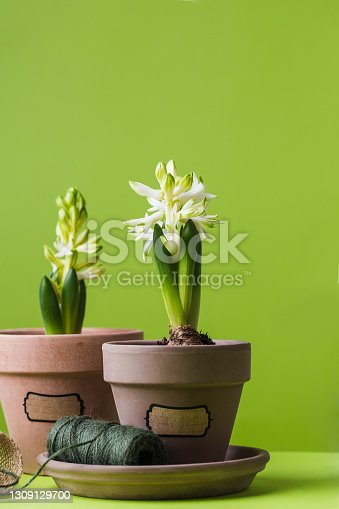 istock Spring concept, hyacinth in pot gardening tools for, rubber gloves, rope, watering can on green 1309129700