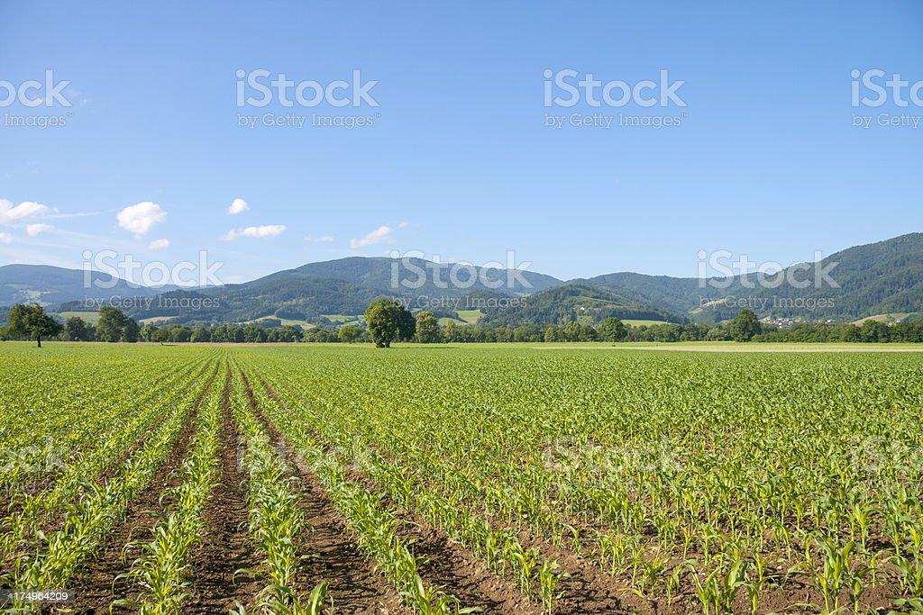 spring corn field royalty-free stock photo
