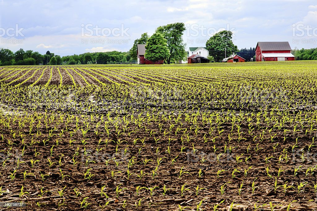 Spring Corn Field stock photo
