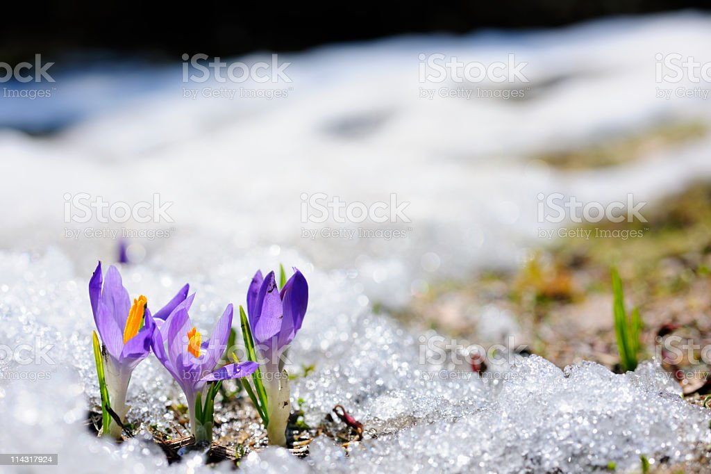 Spring crocus flowers blooming on snow stock photo