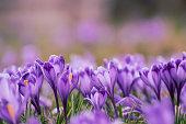 istock Spring crocus flowers 1285934140