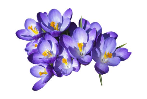 crocus vårblommor - saffron on white bildbanksfoton och bilder