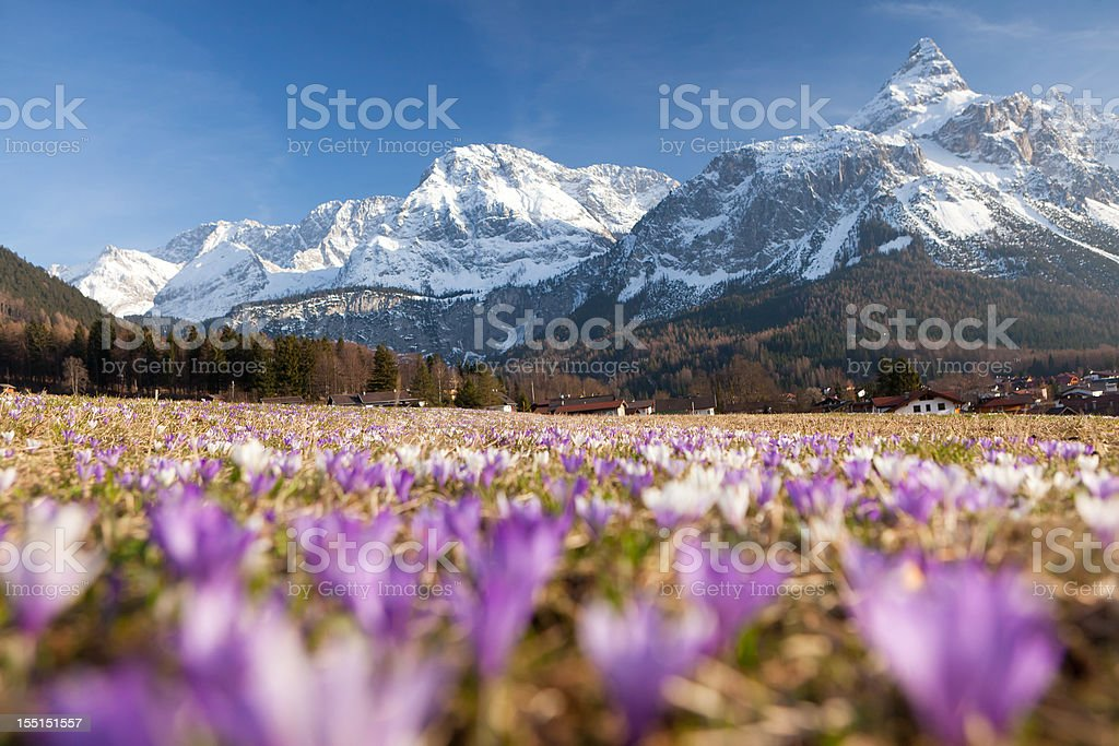 spring crocus meadow in the alps, tirol - austria stock photo