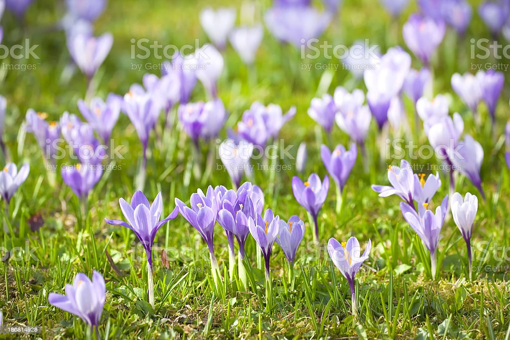 spring crocus meadow royalty-free stock photo