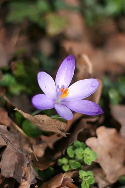 Frühling crocus – Foto