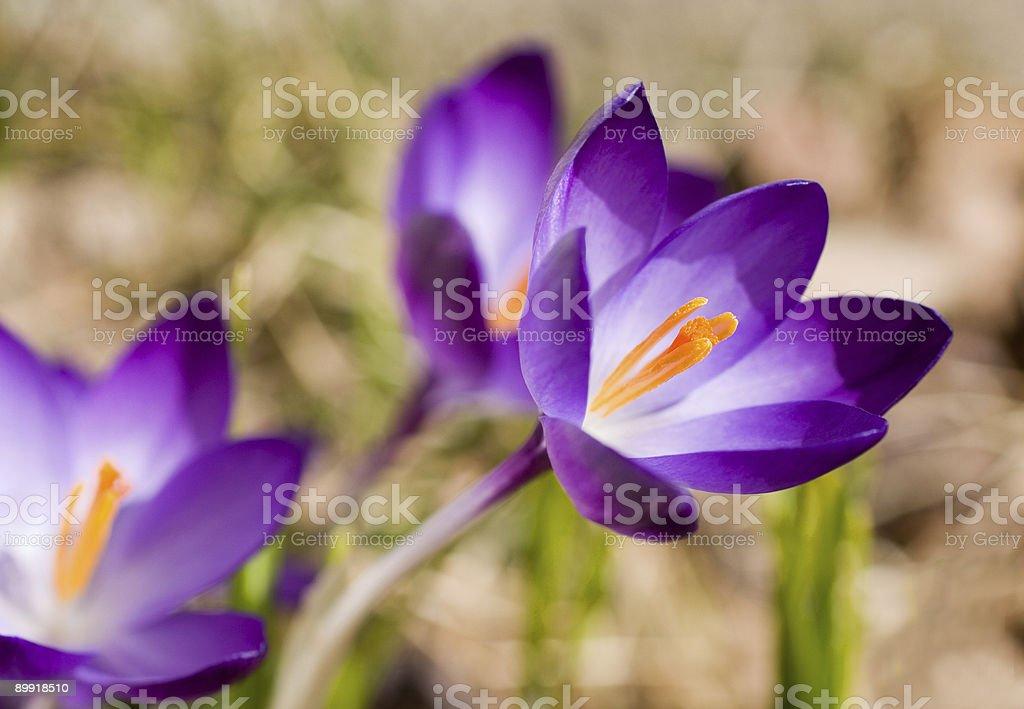 Spring Crocus royalty-free stock photo