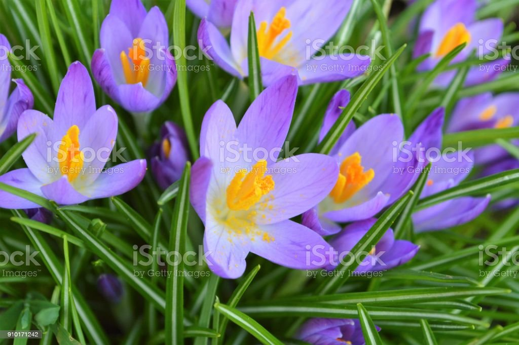 Spring Crocus. stock photo