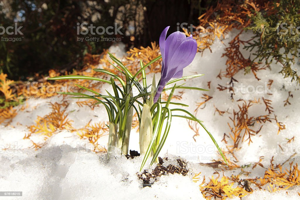 Spring crocus royalty-free stock photo