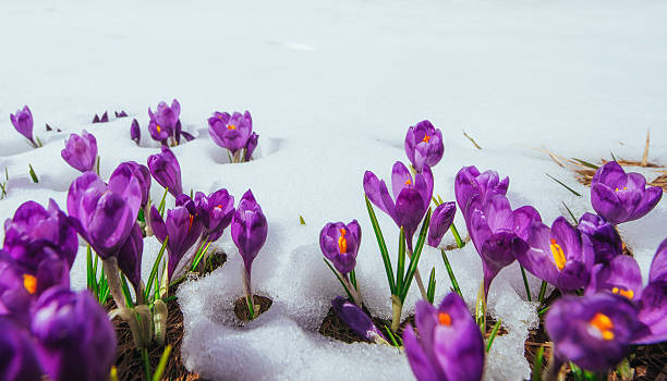 Spring crocuses in melting snow Spring crocuses in melting snow month stock pictures, royalty-free photos & images