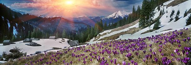 Spring crocuses in the Carpathians stock photo