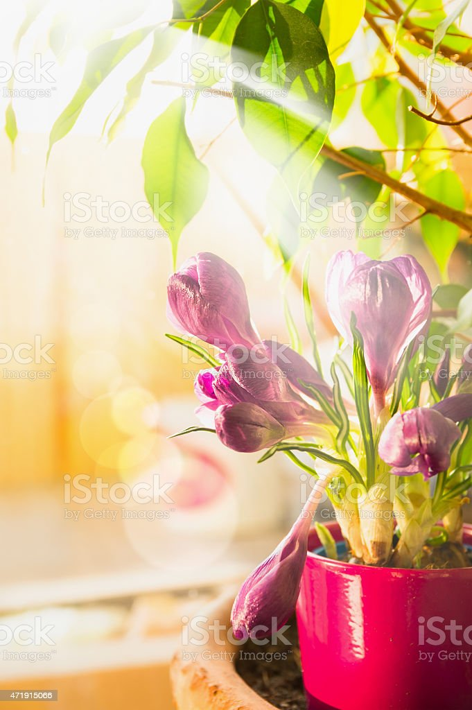 Spring crocuses on window in sunlight , selective focus stock photo