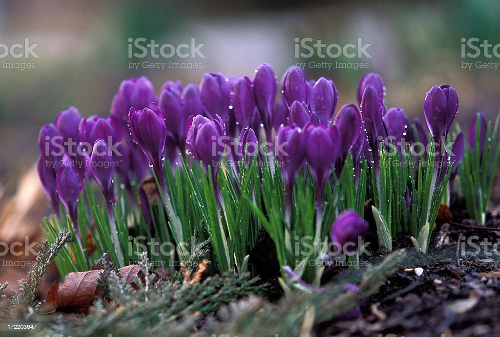 Spring Crocuses royalty-free stock photo