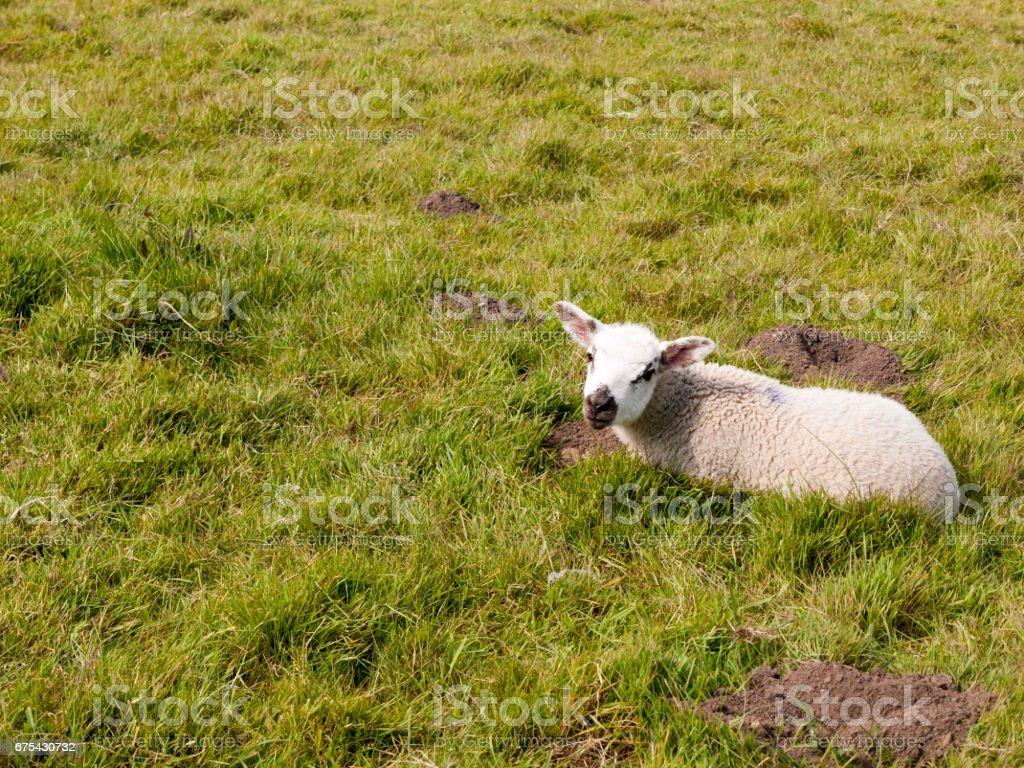 printemps mignon agneau reposant sur terrain avec gazon au printemps photo libre de droits