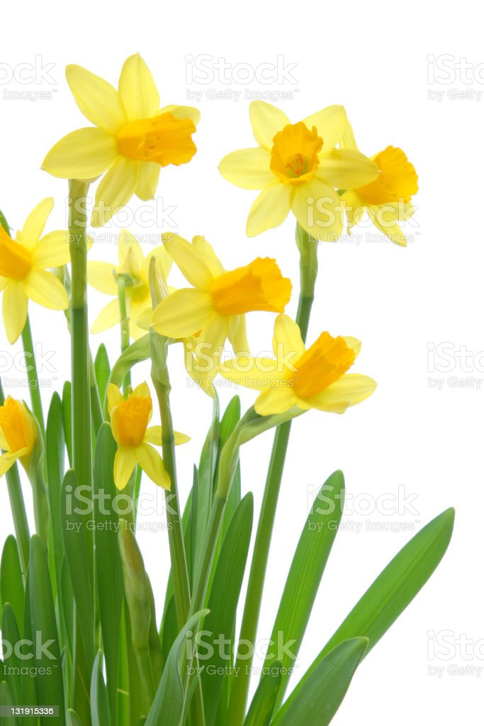 Spring daffodils background royalty-free stock photo