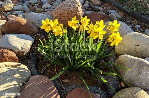 Spring daffodils in a rock garden in Rockville Utah