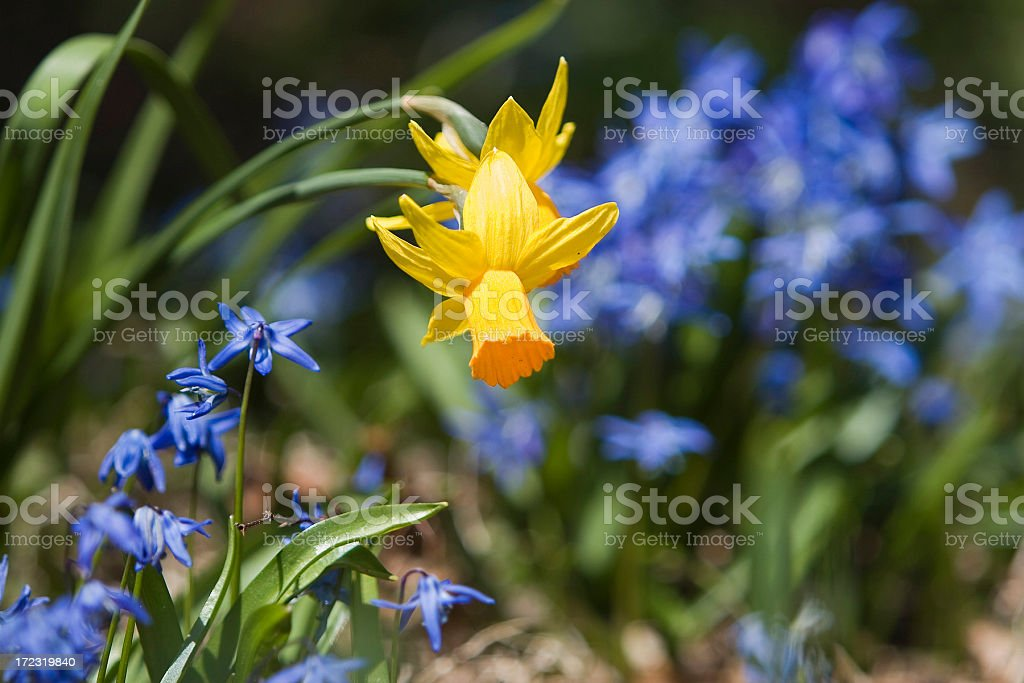 HDR Spring Daffodils royalty-free stock photo