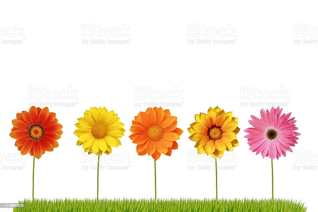 Spring daisies lined up in a row on grass stock photo