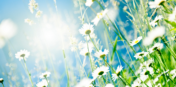 Soft focus image of daisies in the meadow.