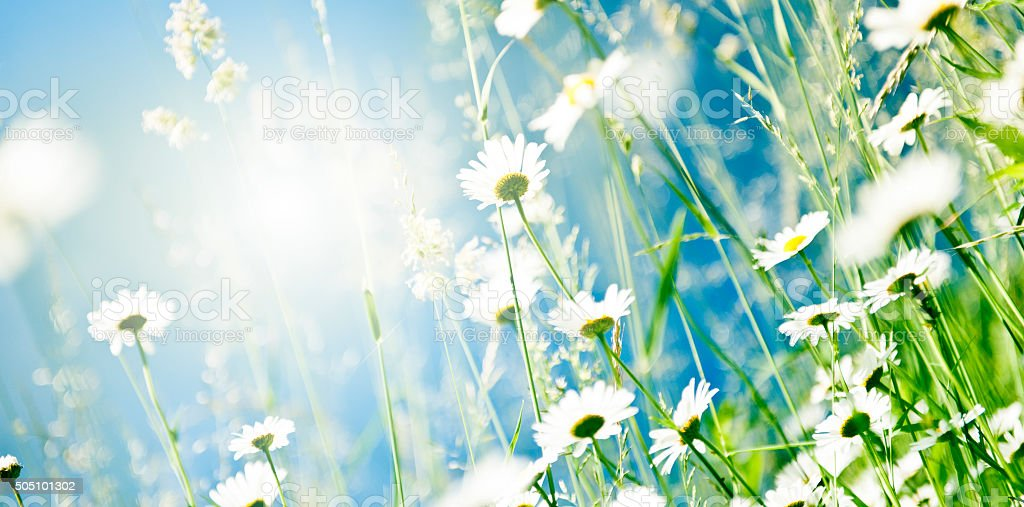 Spring daisies stock photo