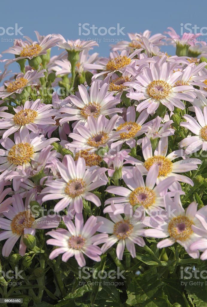 Spring daisies royalty-free stock photo