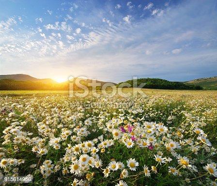 istock Spring daisy flowers 915614956