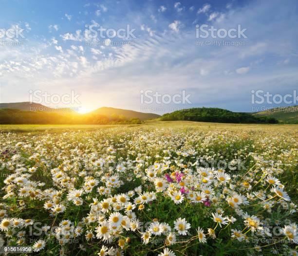 Spring daisy flowers picture id915614956?b=1&k=6&m=915614956&s=612x612&h=8yqb qixtfldzhw2p bm5sk3fiyvqovjfy8p5h0kww4=