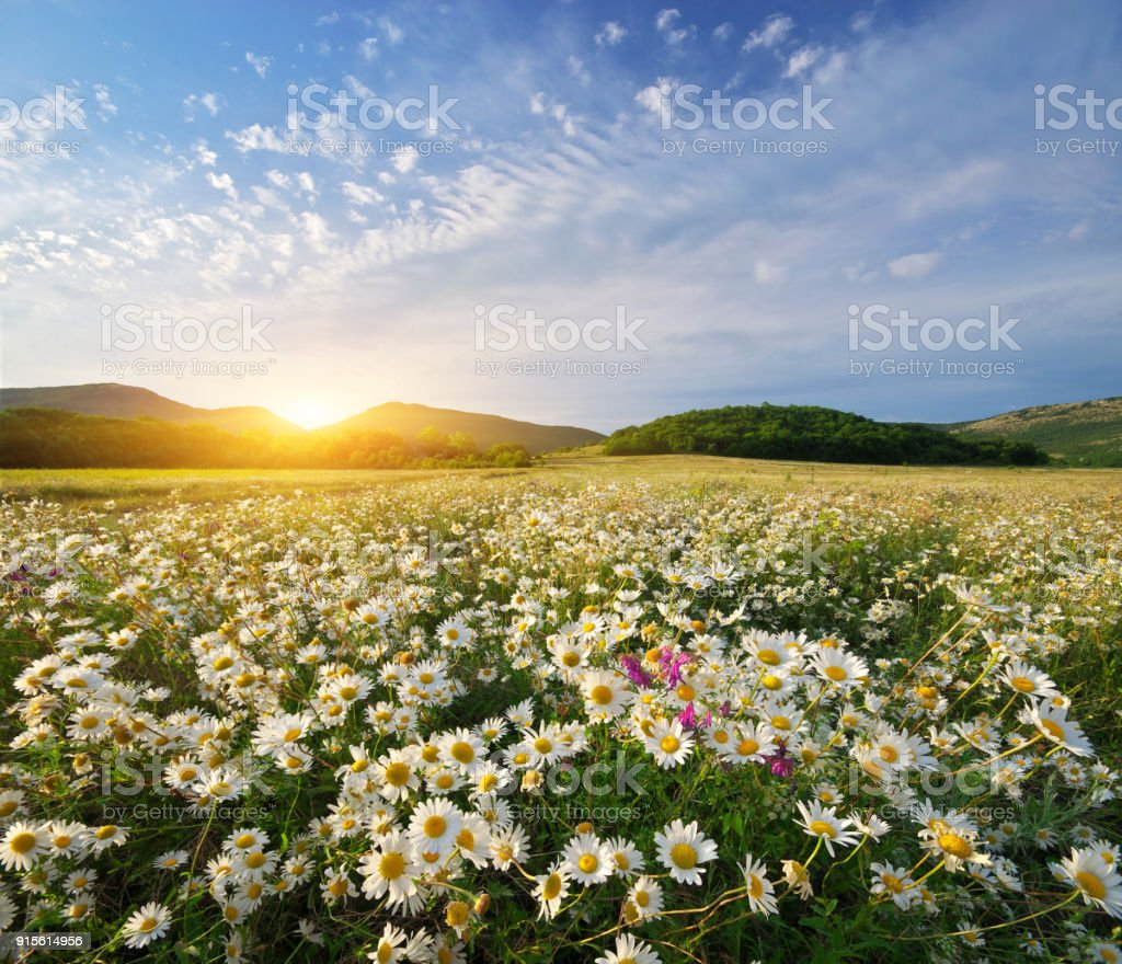 Spring daisy flowers stock photo