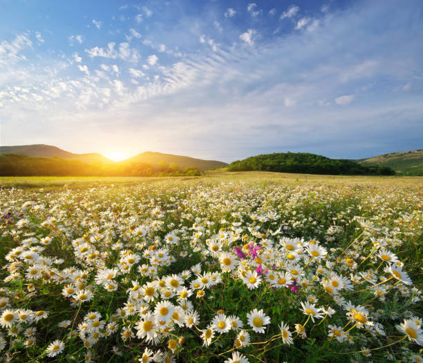 spring daisy flowers - field stock photos and pictures