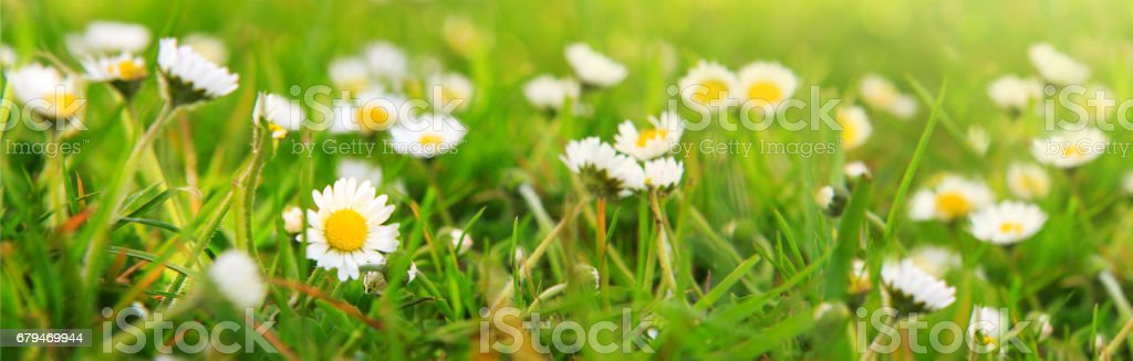 Spring daisy in the meadow 免版稅 stock photo