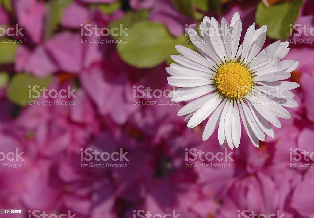 Spring Daisy royalty-free stock photo