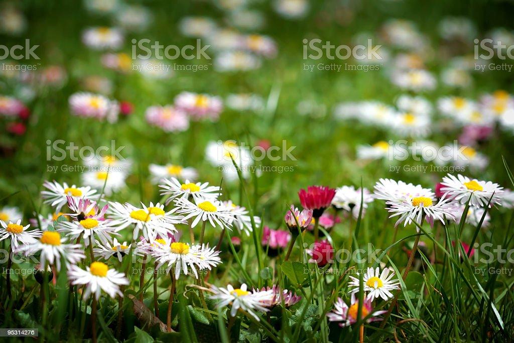Spring daisys stock photo